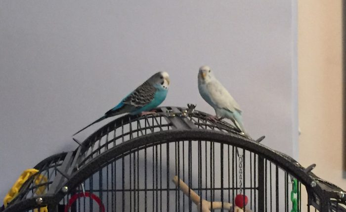 Introducing our parakeets – when Toby met Kelly