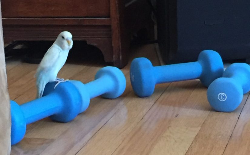 Working out with a budgie