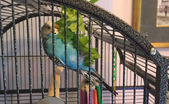 5 tips for getting your budgie to bathe