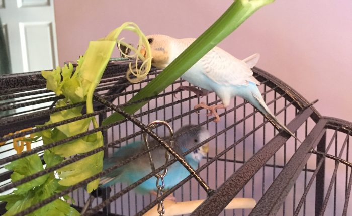 Feeding your parakeet: seeds vs. pellets
