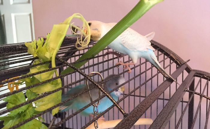 Feeding your parakeet: seeds vs. pellets