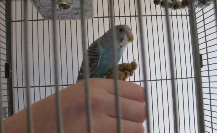 Taming and socializing your parakeet – Part 1