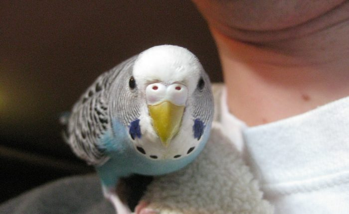 One flew out of the parakeet's cage