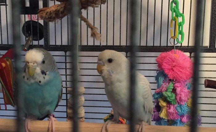 Using a professional pet sitter for parakeets