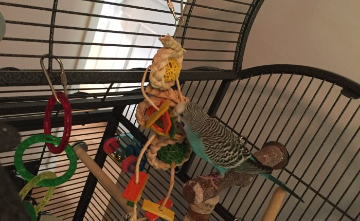 Review of Drs Foster & Smith exclusive woven corn husk toys for parakeets