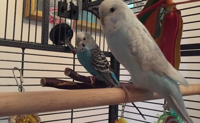 Parakeet perch needs – best perches for budgies