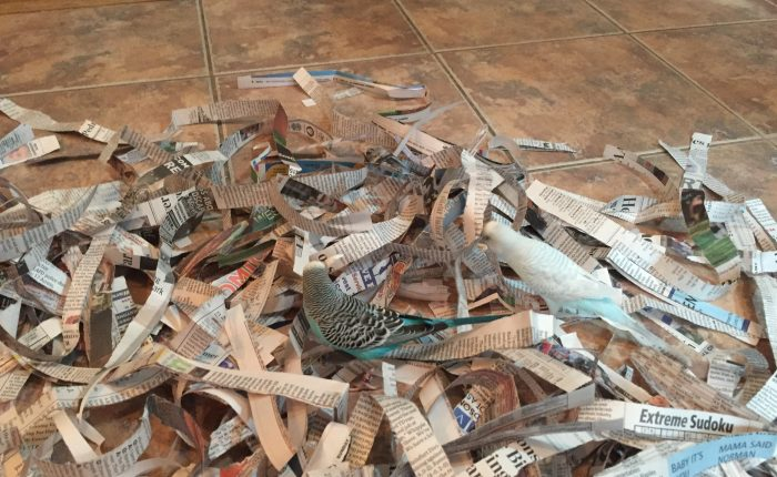 Parakeet fun with shredded newspaper