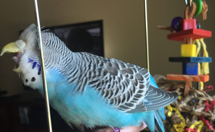 Budgies and the importance of clean and readily available water