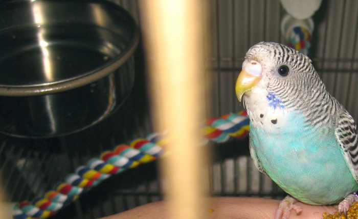 Does molting make a parakeet sick?