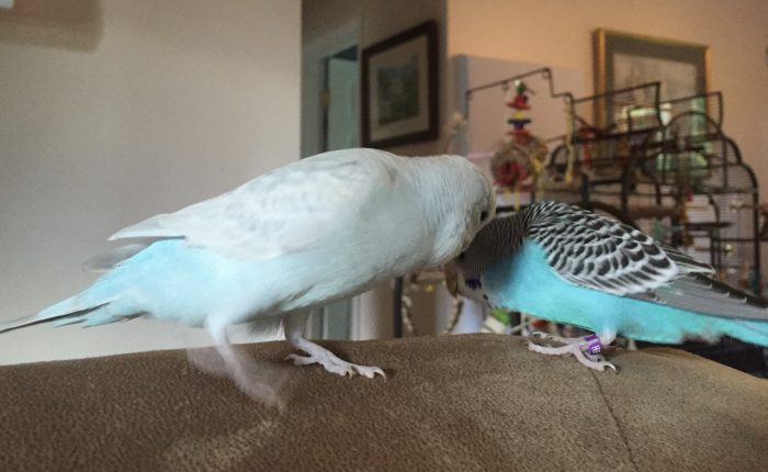 Which sexes of budgies get along best