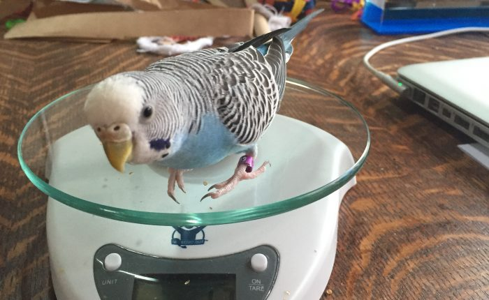 Healthy Weight for Budgies