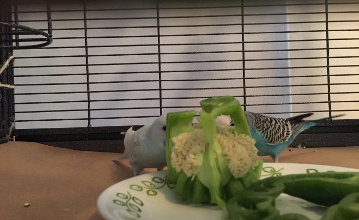 Encouraging your budgie to work for her food by foraging
