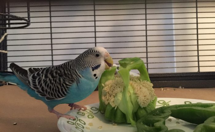 Dealing with your parakeet's flock favorites