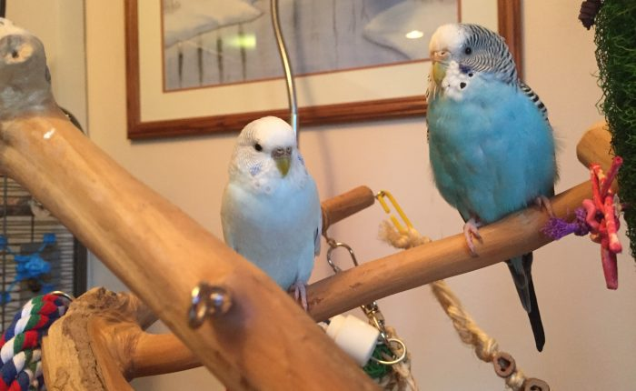 Toby gets her way for one night – parakeet molting is tough business