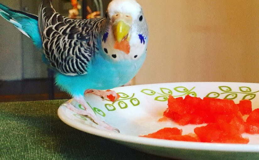 Where should you get your first Parakeet?