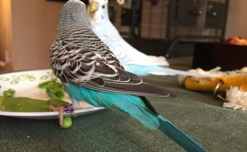 Facts about the 5 senses of the parakeet