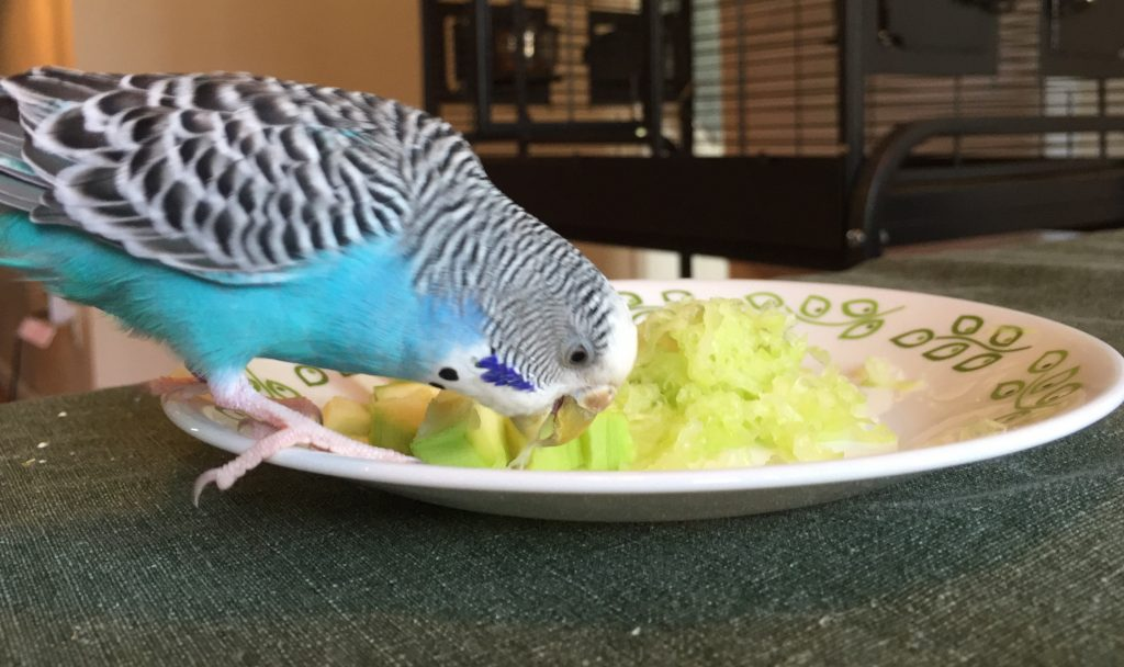 cleaning up after budgies