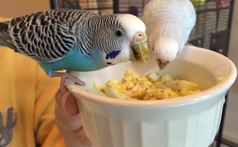 Cooking eggs for parakeets