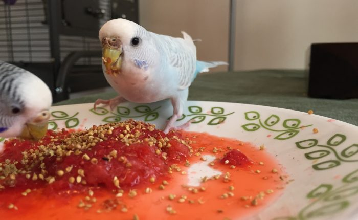 The best treats for a parakeet