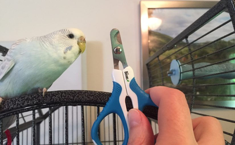 Clipping a parakeet's nails – an exercise in futility?