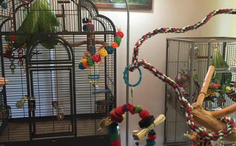 Parakeet ladies living single – not trying to make female parakeets cohabitate
