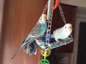 female parakeets