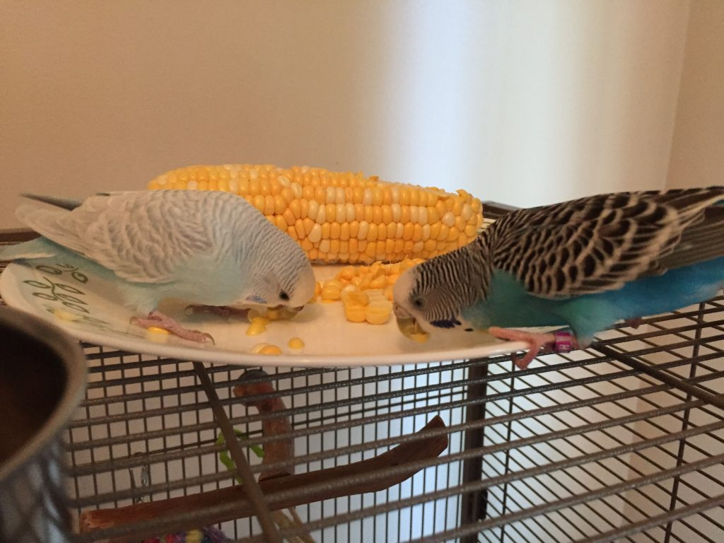 corn on the cob for parakeets