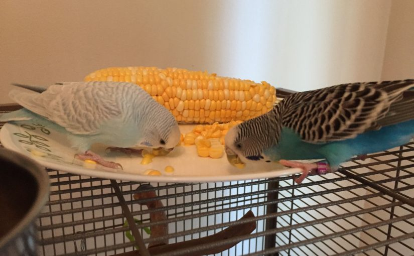 A summer treat for parakeets – fresh corn on the cob