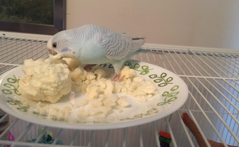 giving cauliflower to the parakeets