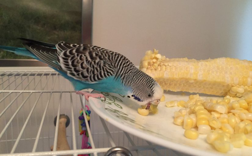 Budgie FAQ – commonly asked budgie questions