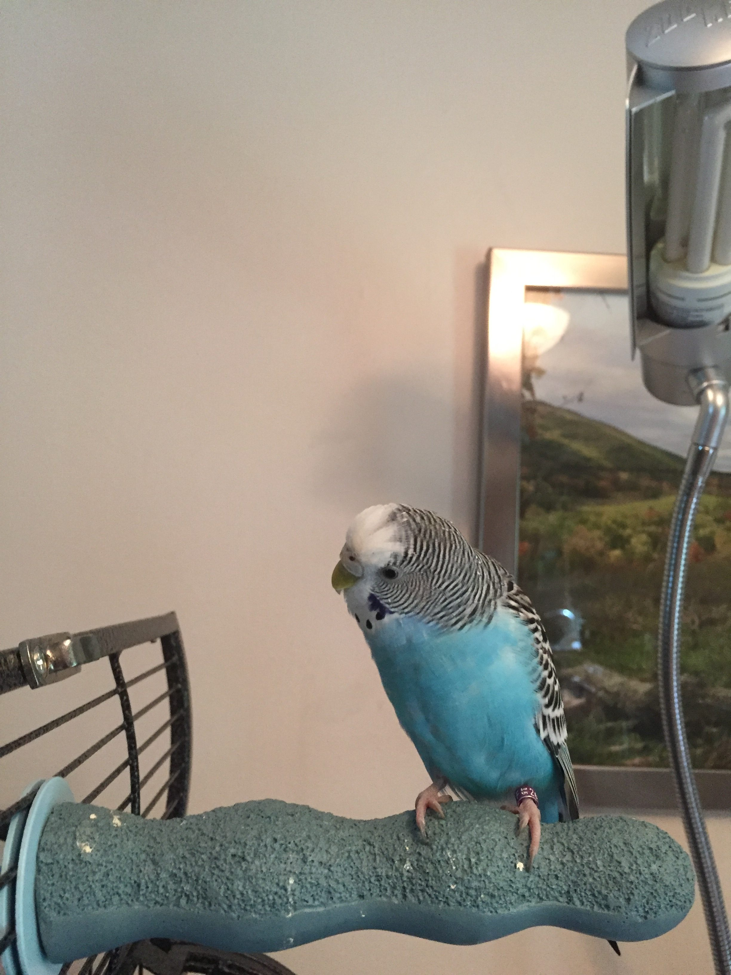An observation about adult molting budgies - homekeethome