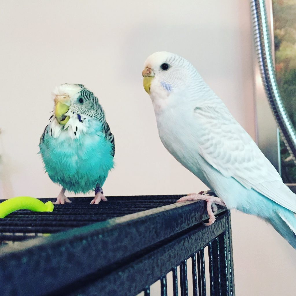 molting budgie baths time!