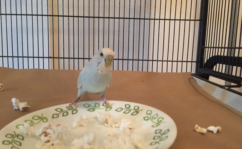 The parakeets eat popcorn for the first time