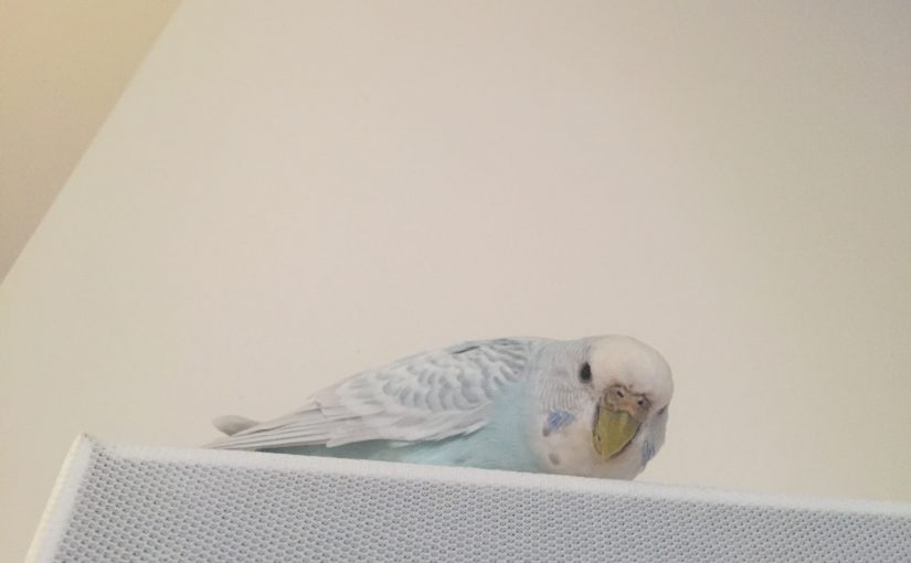 obsessive budgie behavior