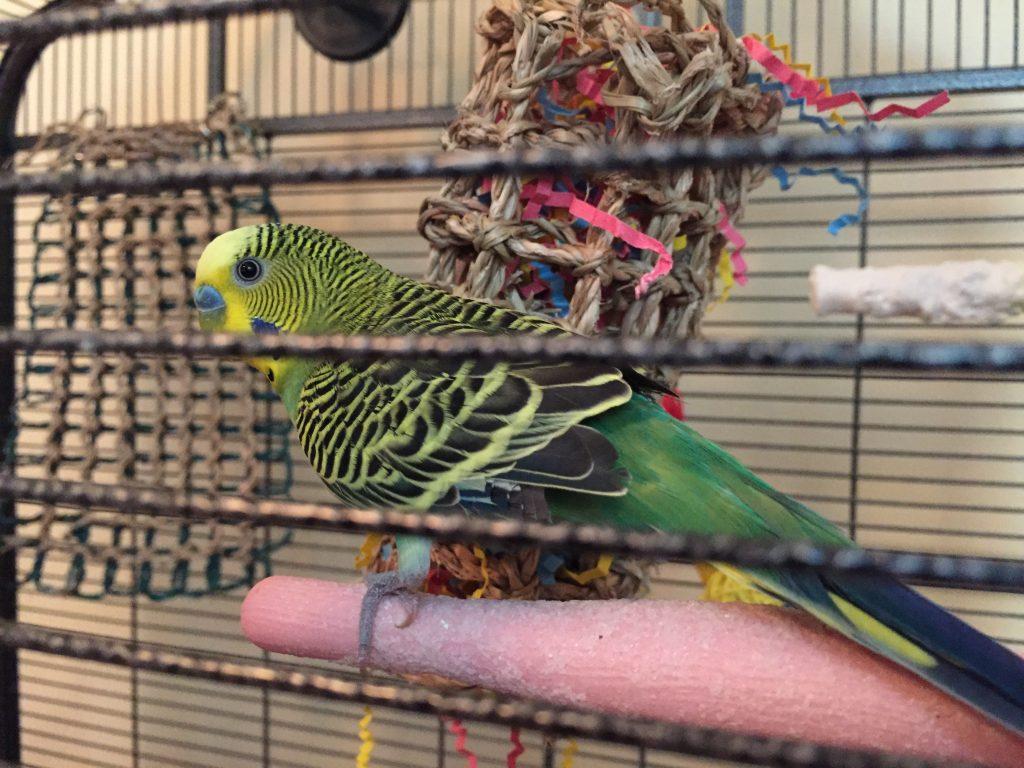Our third parakeet