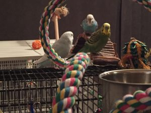 introducing parakeets