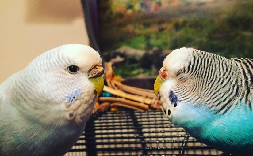 Hide your hands – Kelly is a biting parakeet