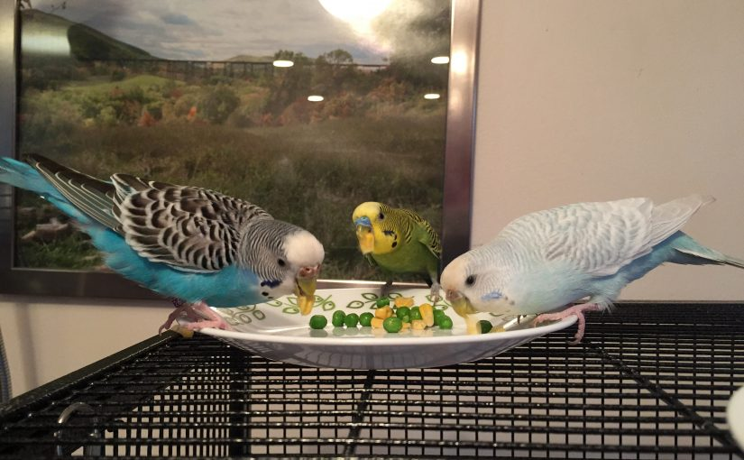New flock order – there will be singing budgies!