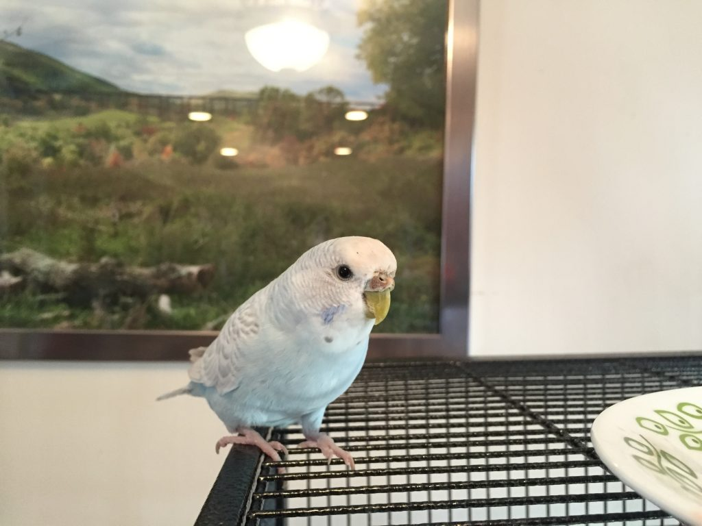 Kelly the cage bar biting budgie