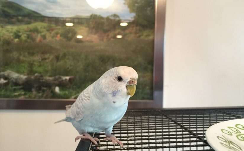 Cage bar biting budgie – tips for redirection