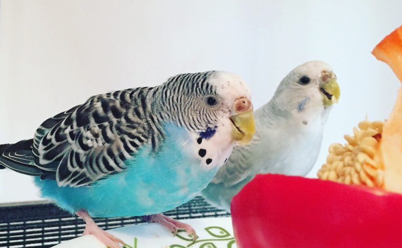 Budgie morning noise – sleeping in on the weekends