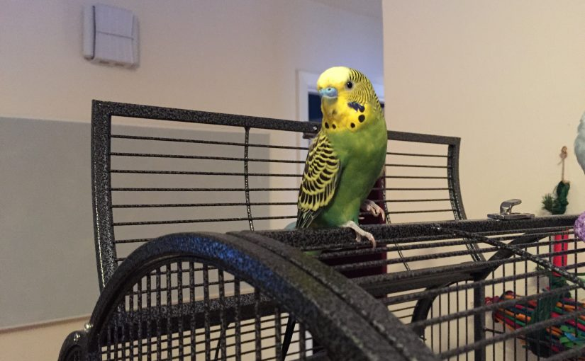 Budgies and anxiety – two sides of the coin