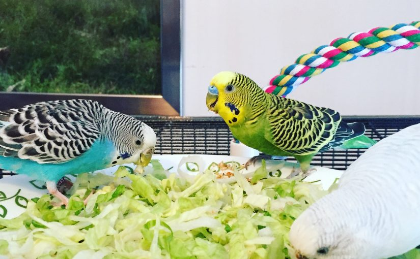 tips for budgies names