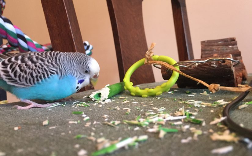 My budgies make me proud with some very responsible behavior