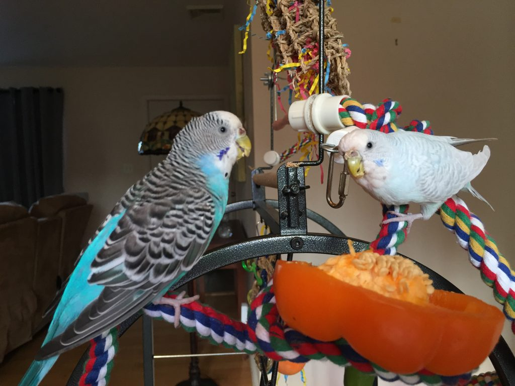 what budgies should smell like