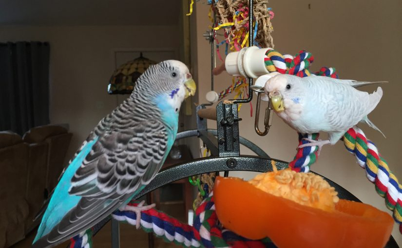 The glorious smell of budgies – what budgies should smell like