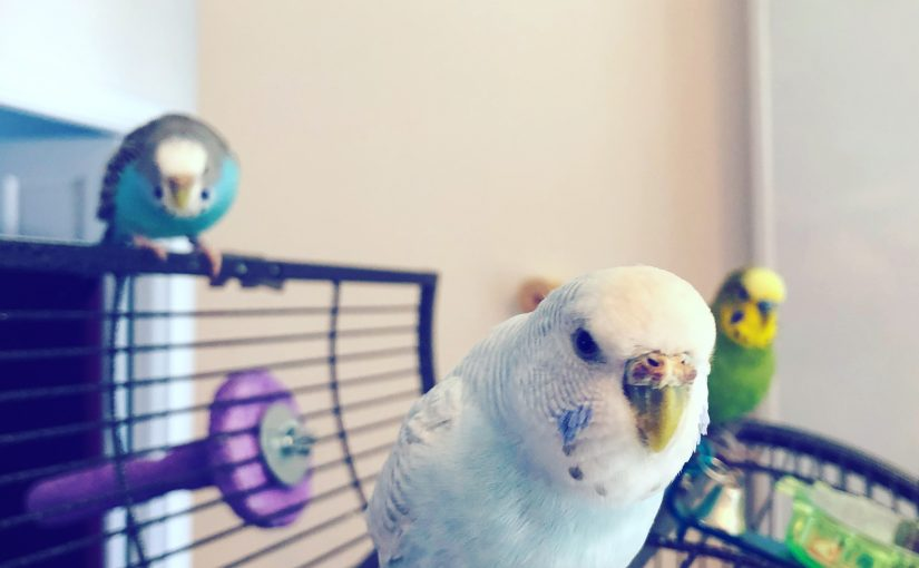 Budgie cage placement – separate room or middle of the action?