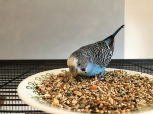 A blue parakeet foraging in some seed on a plate