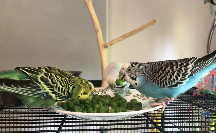 Parakeets and human hands – how our flock reacts