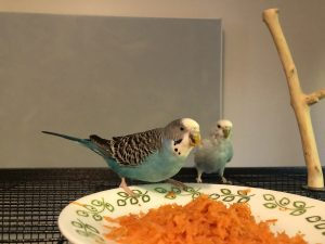 A blue parakeet eats shredded carrot from a white plate